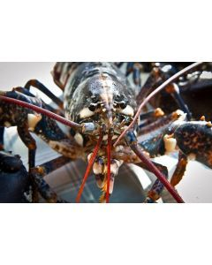 Whole Cooked Cornish Lobster